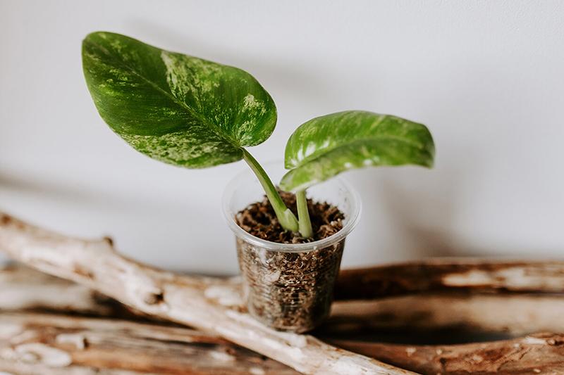 Jak-ukorzeniać-rośliny-w-mchu-Spagnum-2