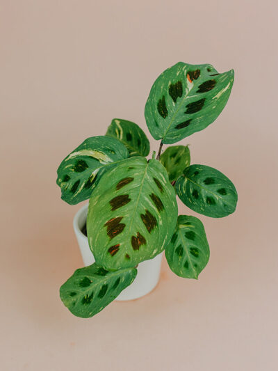 Maranta variegata 03