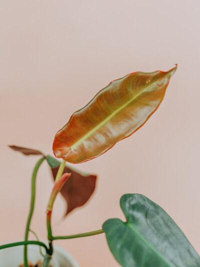 Philodendron atabapoense 01-2