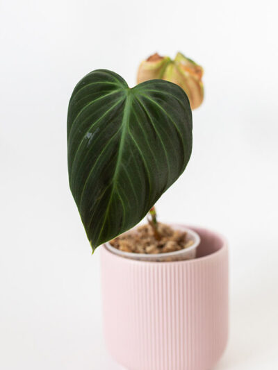 Philodendron el choco red 02