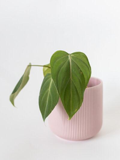 Philodendron gloriosum bright 01