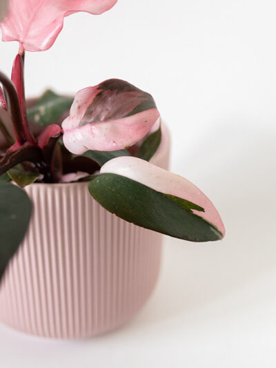 Philodendron pink princess 01-2