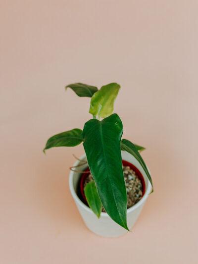 Philodendron siam sunrise rewersja 01-2