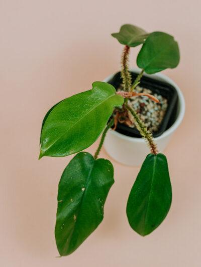 Philodendron squamiferum 01-2