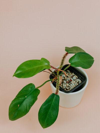 Philodendron squamiferum 01-3