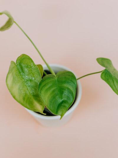 Philodendron tenue 01-3