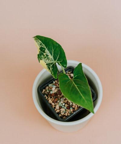 Syngonium yellow variegata