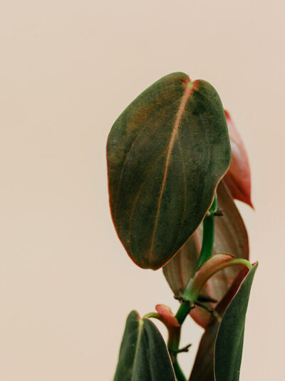 Philodendron gigas przykład