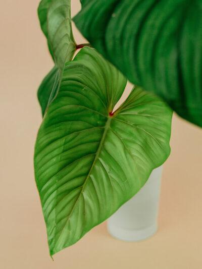 Philodendron mamei plowmanii