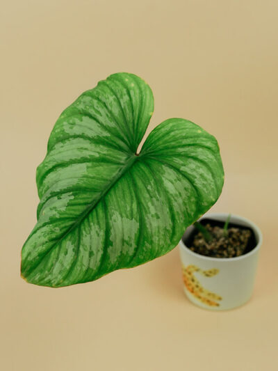 Philodendron mamei silver cloud