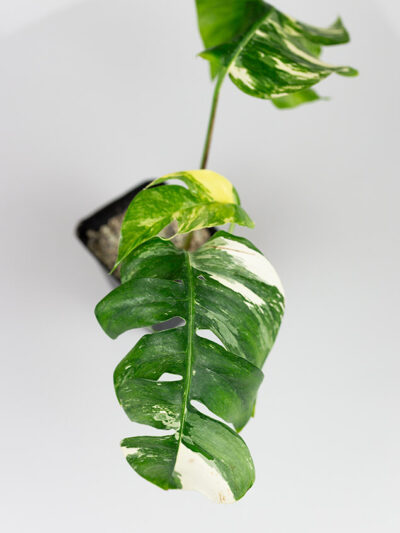 Epipremnum pinnatum variegata duże 01-2