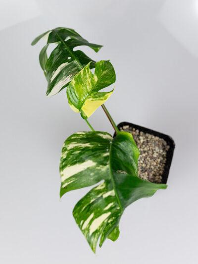 Epipremnum pinnatum variegata duże 01
