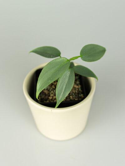 Philodendron hastatum 01