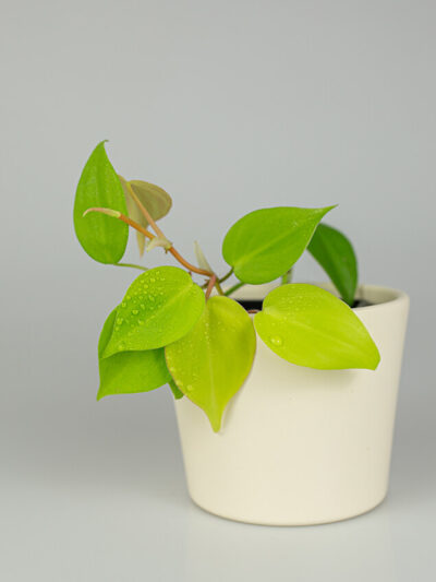 Philodendron hederaceum Lemon Lime 01