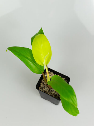 Philodendron malay gold 02