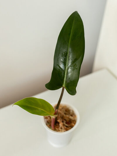 Philodendron mexicanum 01