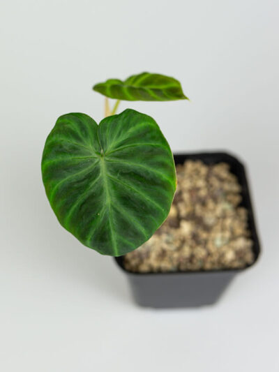 Philodendron verrucossum 02-2