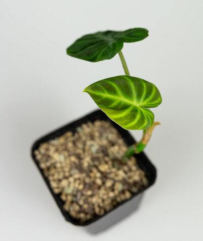 Philodendron verrucossum 02