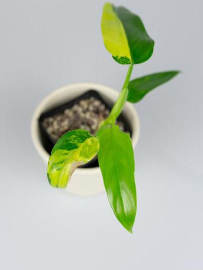 Philodendron siam sunrise 01-2