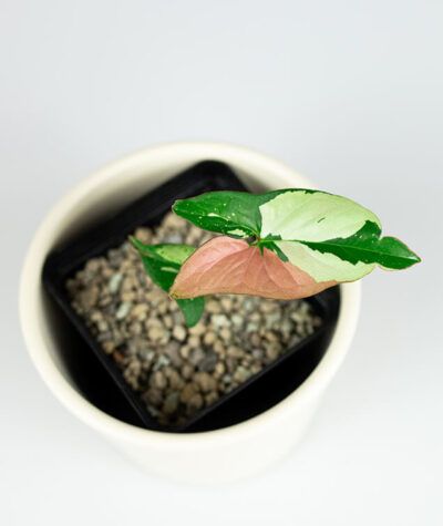 Syngonium red spot tricolor 08