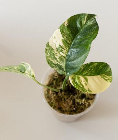 Epipremnum pinnatum variegata 01-3