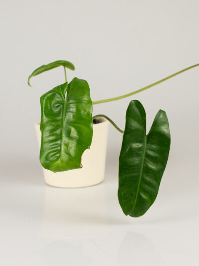 Philodendron burle marx 01
