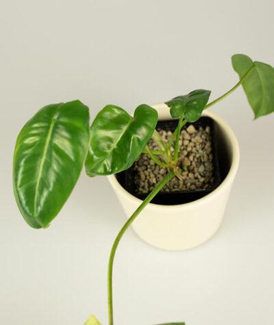 Philodendron burle marx variegata regres 01
