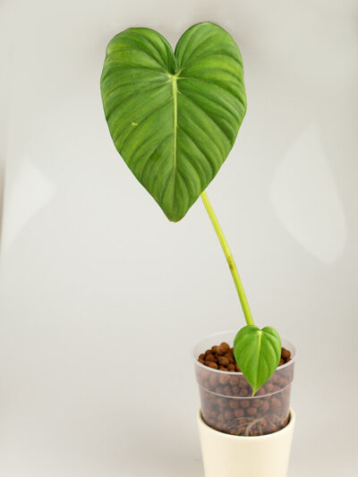 Philodendron dean mcdowell 01-2