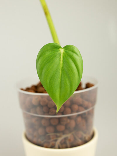 Philodendron dean mcdowell 01