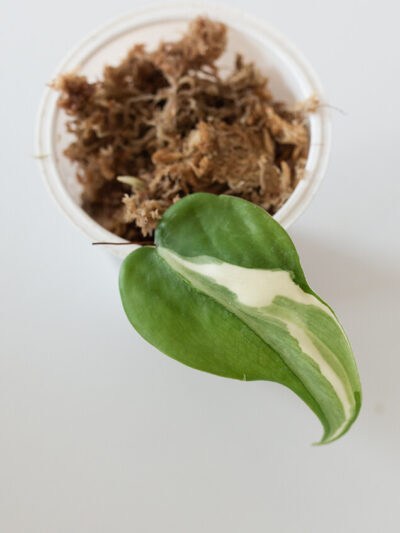 Philodendron hederaceum rio 03