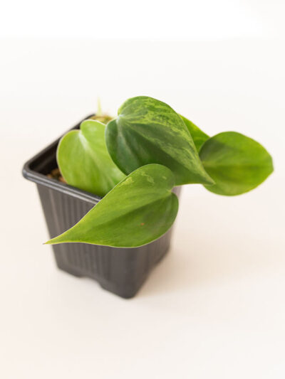 Philodendron hederaceum variegata 01