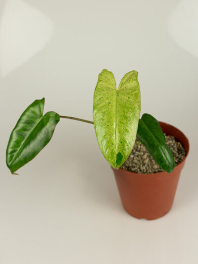 Philodendron paraiso verde 01