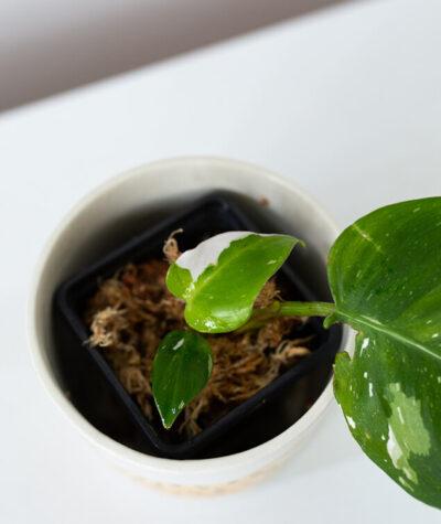 Philodendron white princess 01-3