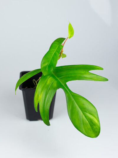Philodendron florida beauty regres